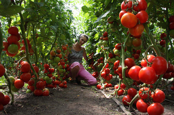 Выращиваем урожай помидоров