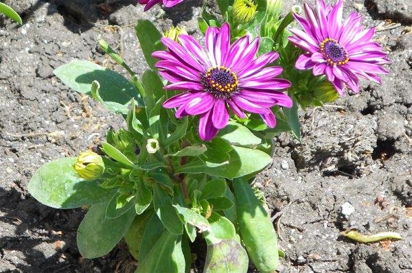 Выращивание остеоспермума