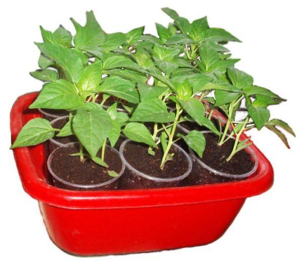 Выращивание рассады перца в стаканчиках