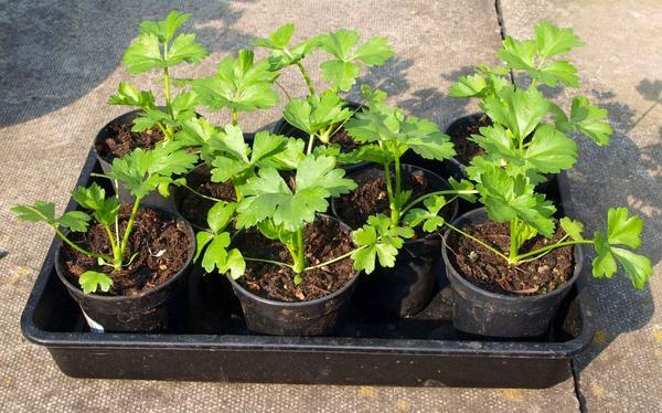 Выращивание сельдерея корневого рассадой