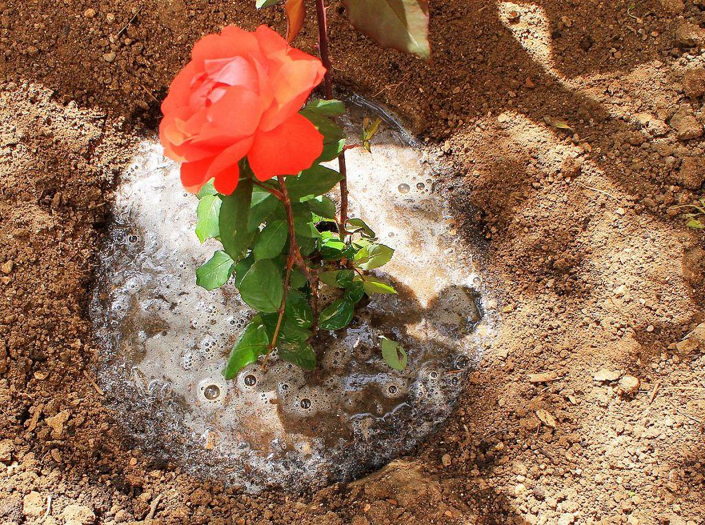 Высаживаем розы
