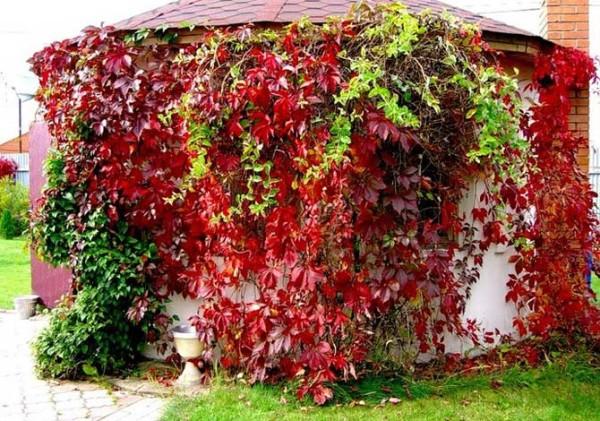 Декоративность девичьего винограда