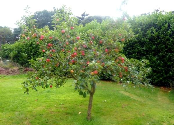 Дерево яблони сорта Медуница