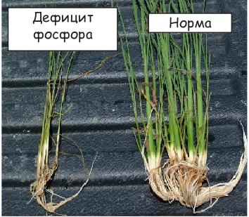 Дефицит фосфора особенно опасен для молодых растений