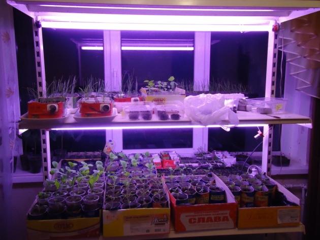 Искусственная подсветка предотвращает сильное вытягивание стеблей