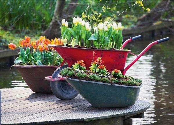 Клумба из садовой тачки с тюльпанами