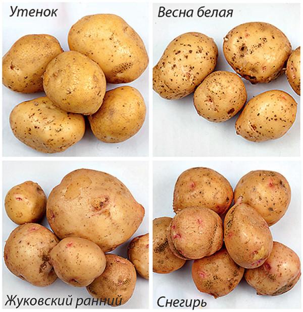 Некоторые раннеспелые сорта картофеля