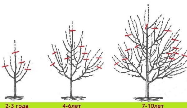 Особенности осеннего обрезания яблони