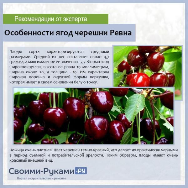 Особенности ягод черешни Ревна