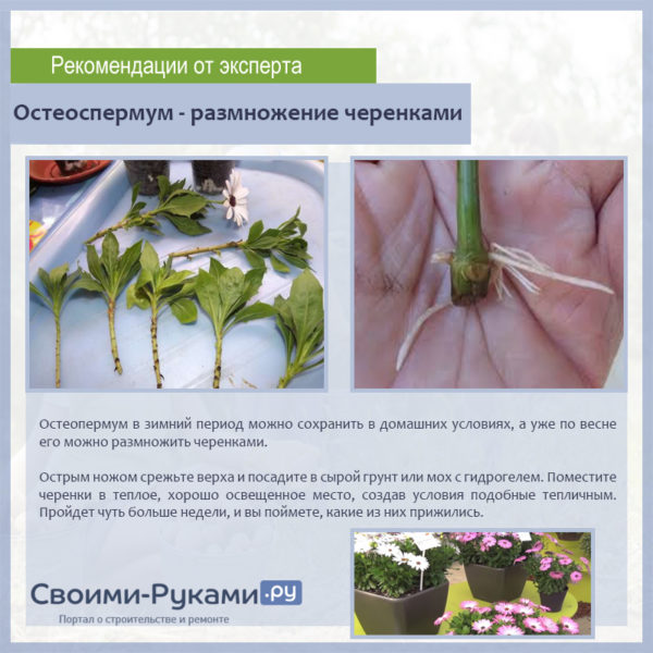 Остеоспермум - размножение черенками
