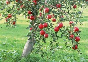 Плодовые деревья, кустарники