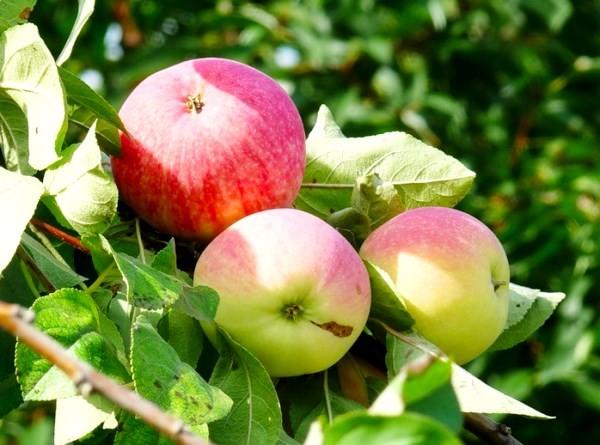 Плоды яблони Мельба на ветке