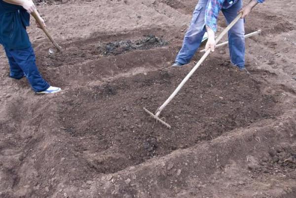 Подготовка грядок для посадки картофеля