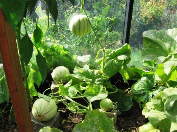 Пример выращивания арбузов в теплице