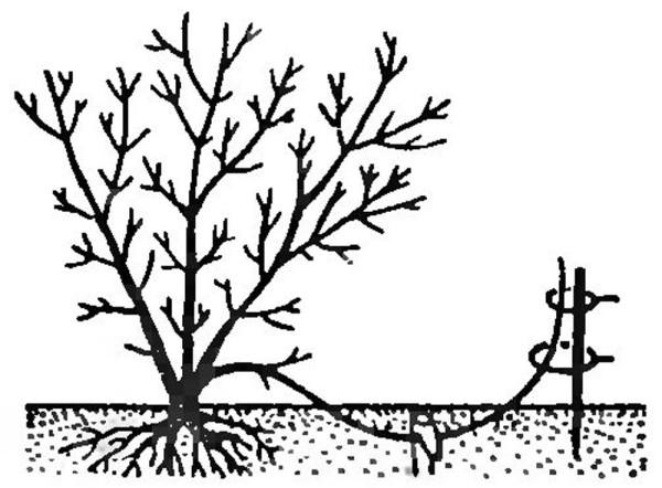 Размножение жимолости горизонтальными отводками