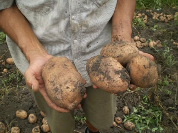 Рассматриваем лучшие ранние сорта картофеля