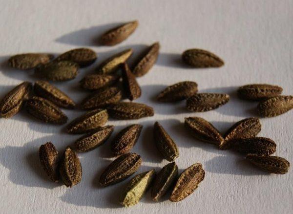Семена остеоспермума