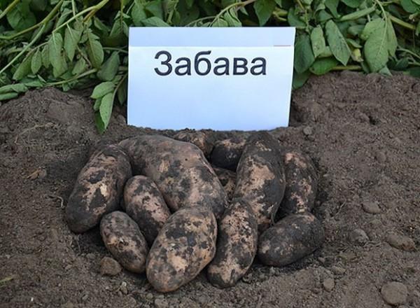 Сорт картофеля Забава