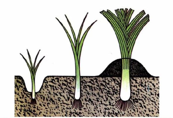 Схема выращивания лука пера