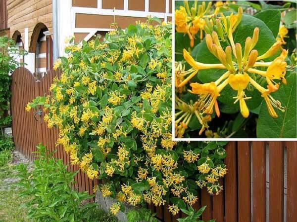 Цветы жимолости каприфоль