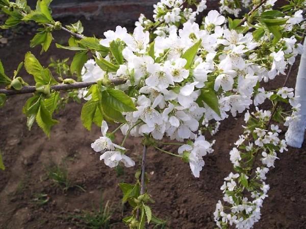 Черешня цветет