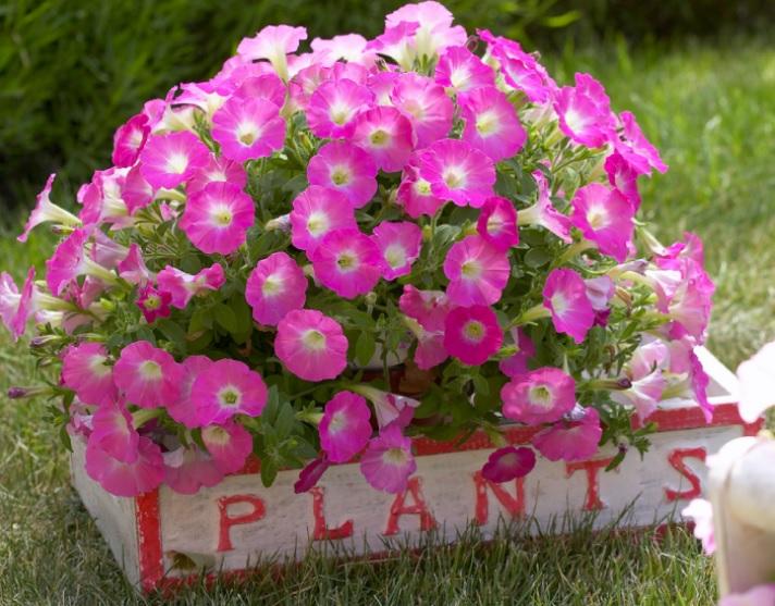 сурфиния, сорт Surfinia Table Pink Morn