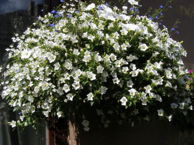 сурфиния ампельная, сорт Surfinia Table White