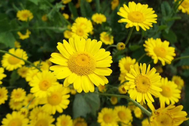разновидность-ромашек-антемис-Anthemis-tinctoria