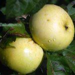 apple-tree-1
