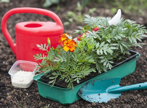 Бархатцы: выращивание рассады