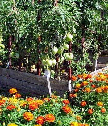 что-посадить-рядом-с-помидорами-от-фитофторы