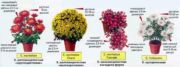 Хризантемы домашние: виды и сорта