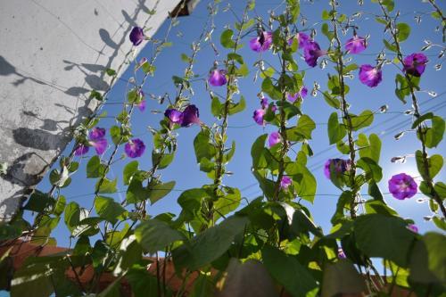 Ипомея - выращивание на сетке