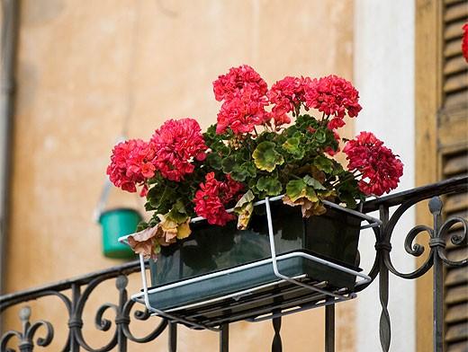 Герань - цветок на балконе южной направленности