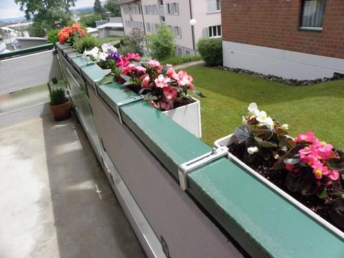 Вечноцветущая бегония на северном балконе