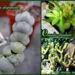 krassuly-plegmatoides-okruglaya-Marne