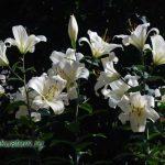 lilia-white1