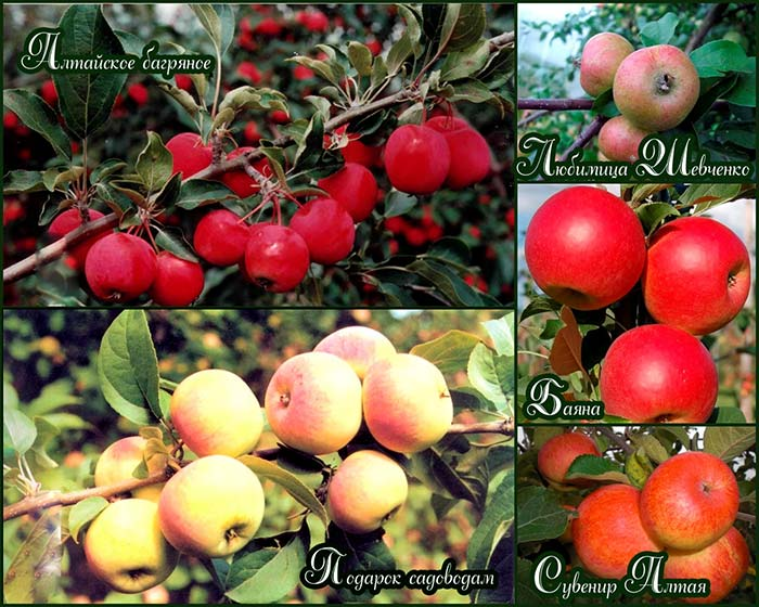 осенние-сибирские-яблони