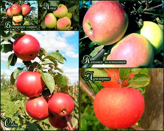 осенние-сорта-яблок-для-беларуси