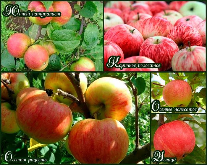 осенние-яблоки-для-подмосковья