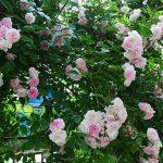 pletistye-rozy-ramblery