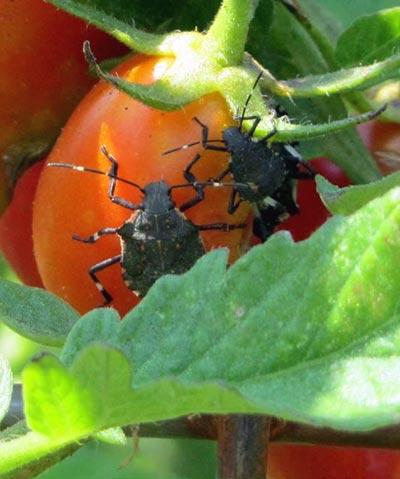 после-чего-нельзя-сажать-помидоры
