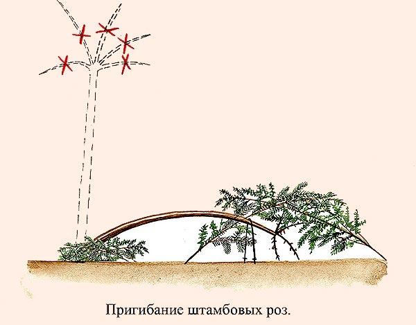 prigibanie-shtambovyh-roz-dlya-ukrytiya-na-zimu