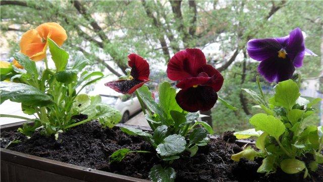 Посадка виолы в балконные ящики