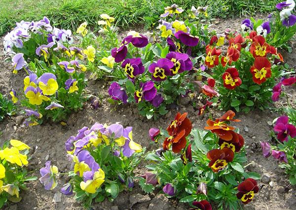 Виола: выращивание из семян в открытом грунте