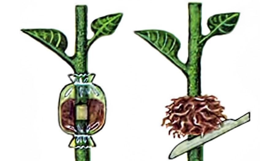 Размножение диффенбахии воздушными отводками