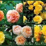 rozy-klajmbery-zheltogo-tsveta