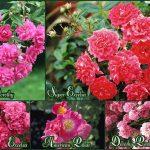 rozy-ramblery-krasnyh-tonov