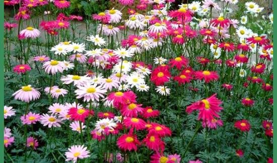 садовые-ромашки-различные-по-окраске