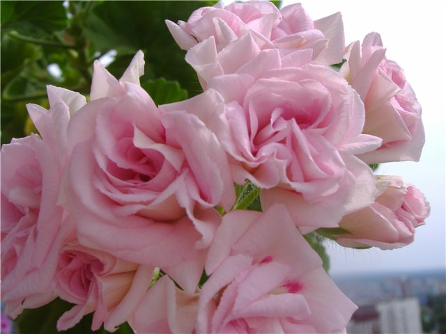 Зональная розебудная пеларгония